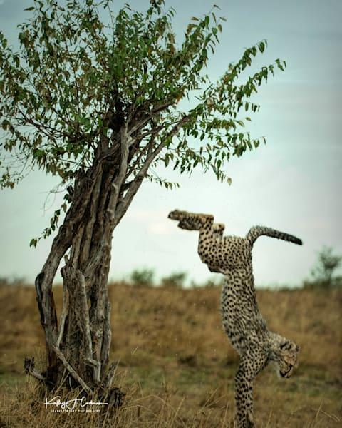 Kenya Cheetah 3036 Photography Art   Images2Impact