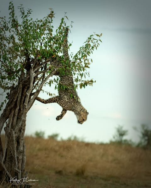 Kenya Cheetah 3034 Photography Art   Images2Impact