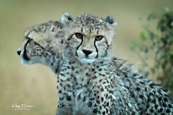 Kenya Cheetah 3535 Photography Art   Images2Impact