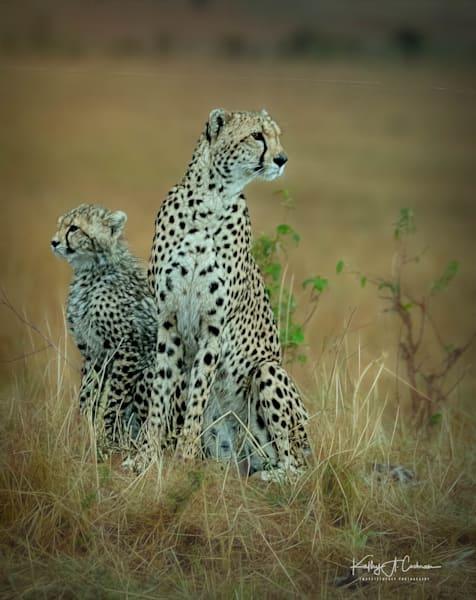 Kenya Cheetah 3464 Photography Art   Images2Impact