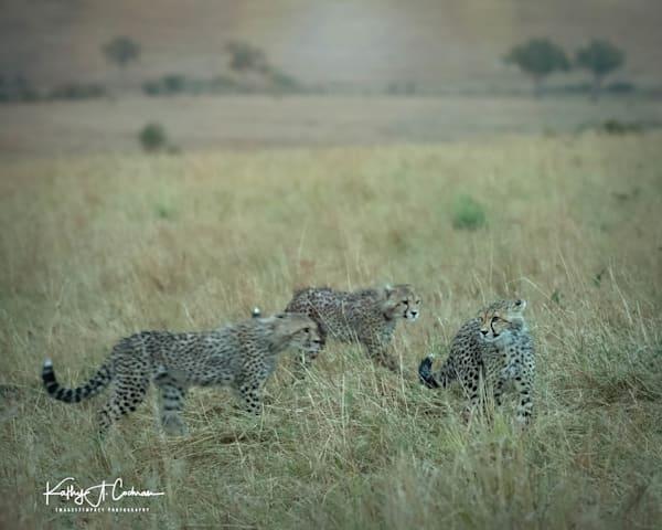 Kenya Cheetah 3600 Photography Art   Images2Impact
