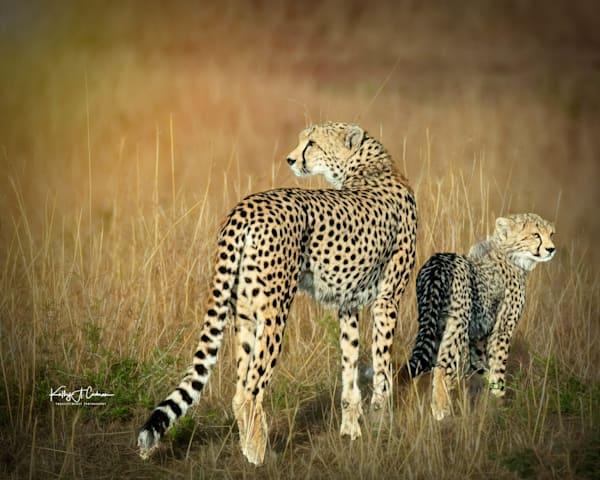 Kenya Cheetah 3797 Photography Art   Images2Impact