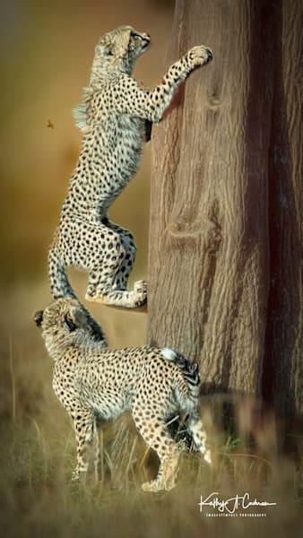 Kenya Cheetah 3960 Photography Art | Images2Impact