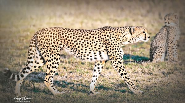 Kenya Cheetah-7845