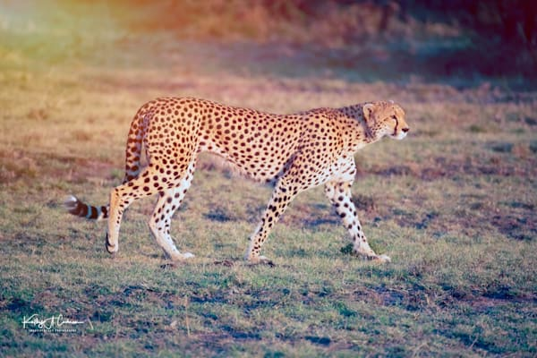Kenya Cheetah-7868