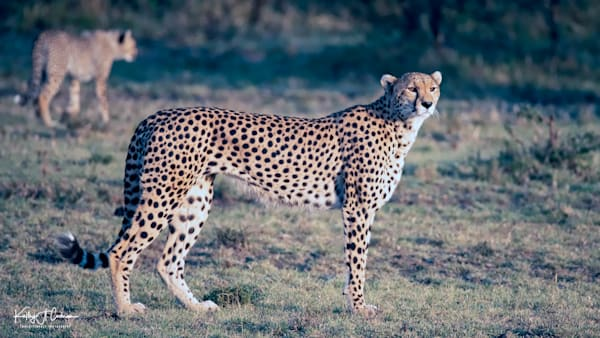 Kenya Cheetah-7874
