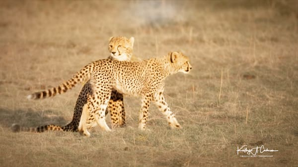 Kenya Cheetah-7838