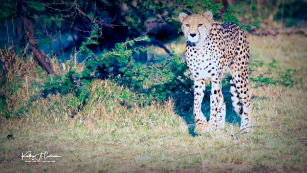 Kenya Cheetah-7889