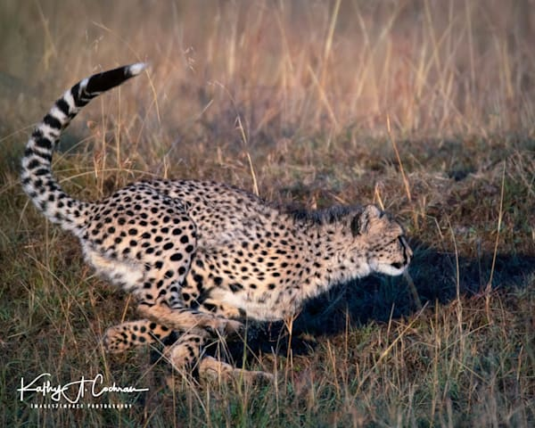 Kenya Cheetah-9538