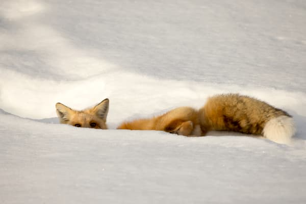 Winter Fox | Robbie George Photography