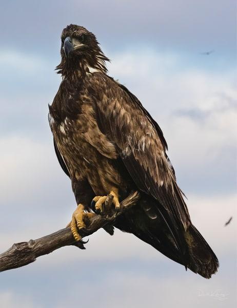 A Portrait of an Eagle