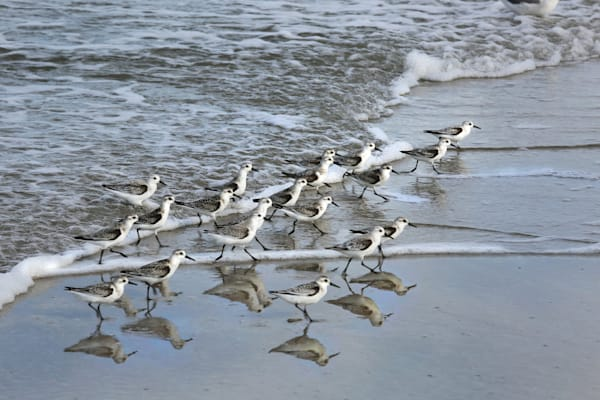 8973--shore-birds-surf-