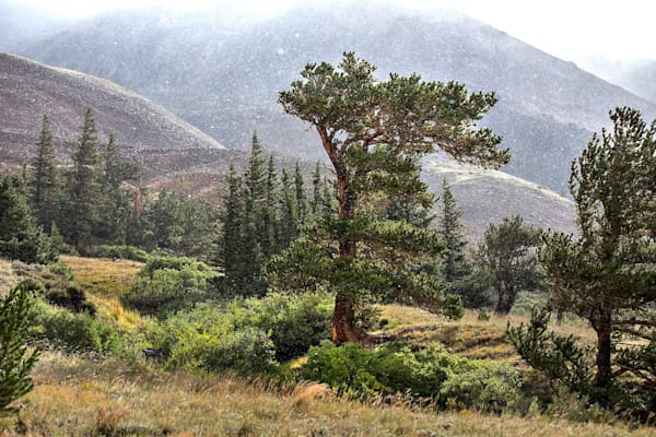 8841 Bristlecone Pine Colorado Art | Cunningham Gallery