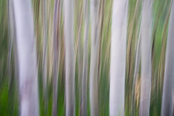 5172 Blurry Aspens Art | Cunningham Gallery