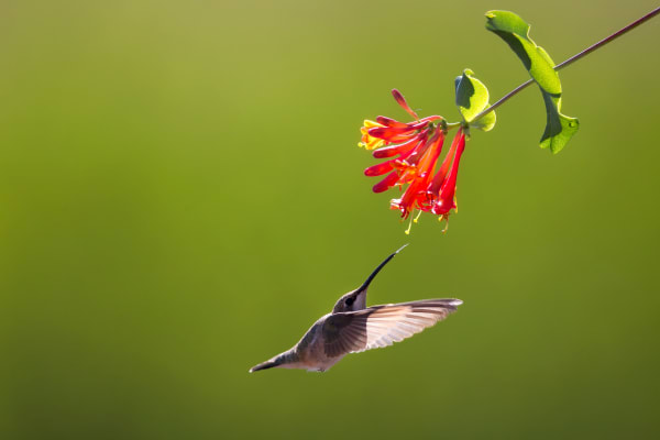 Hummingbird Wildlife Wall Art Prints | Robbie George Photography