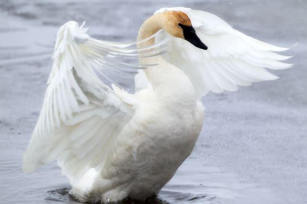 Trumpeter Swan Wildlife Photography | Robbie George