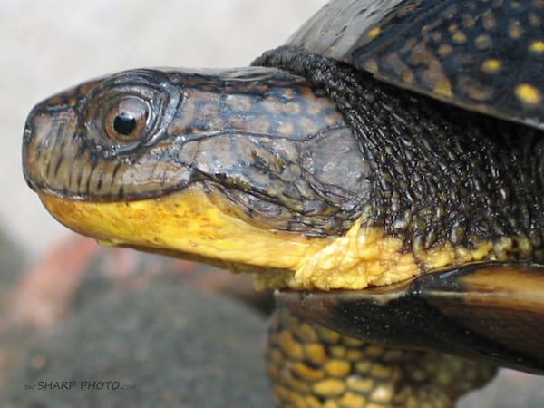 Blandings Turtle Art   Lucy Anna Perna