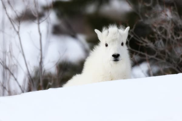 Mountain Goat Images | Robbie George Photography