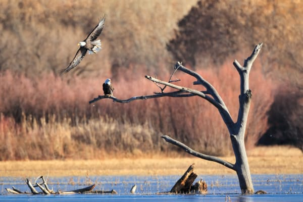 Bald Eagle Flying | Robbie George Photography