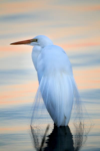 Great Egret | Robbie George Photography