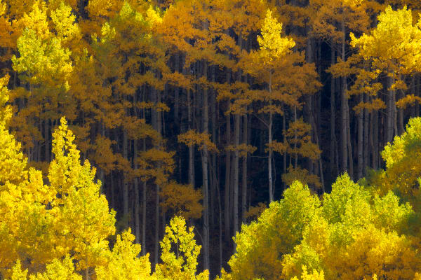 Aspen Fall Colors Forest Wall Art Prints | Robbie George