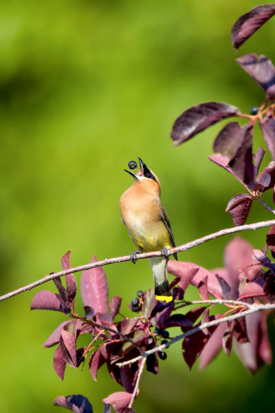 Cedar Waxwing Photography Prints | Robbie George