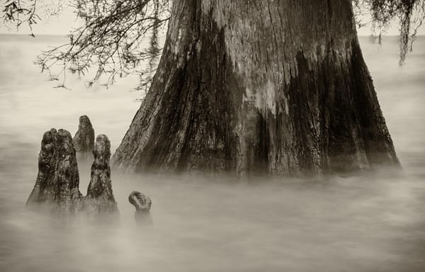 Lake Maurepas cypress swamp photography