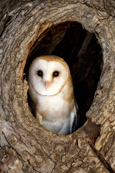 Barn Owl | Robbie George Photography