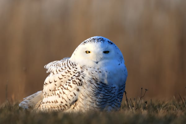 Snowy Owl Wildlife Photography | Robbie George Photography