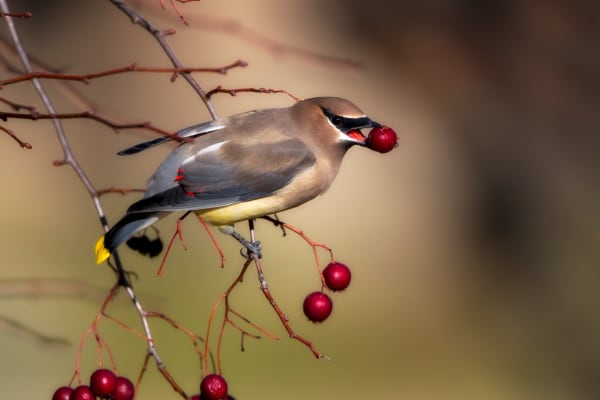 Waxwing | Robbie George Photography