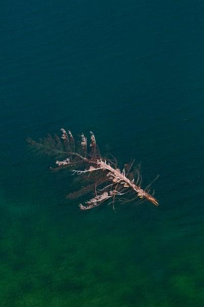 Dead Tree in Hebgen Lake