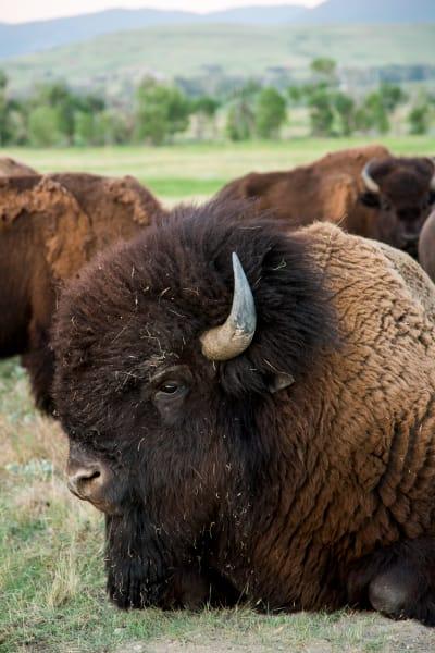 Bison in Color I