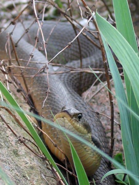 Hog Nose Snake Art   Lucy Anna Perna