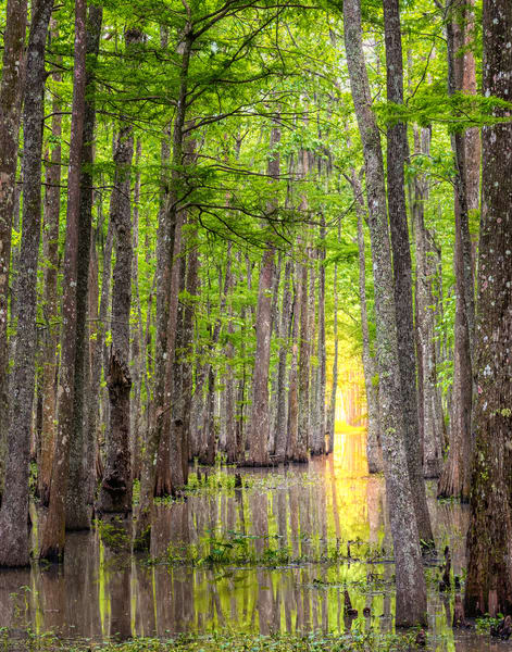 Louisiana cypress tunnel