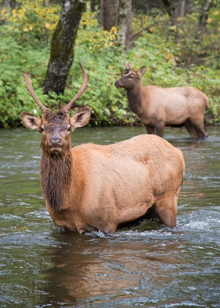Smoky Mountains elk photography