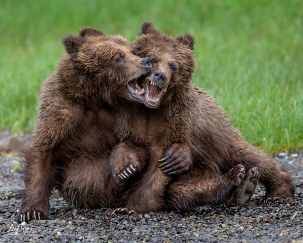 Two grizzly bears wrestle.