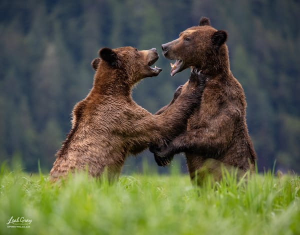 Two grizzly bears battle for dominance.