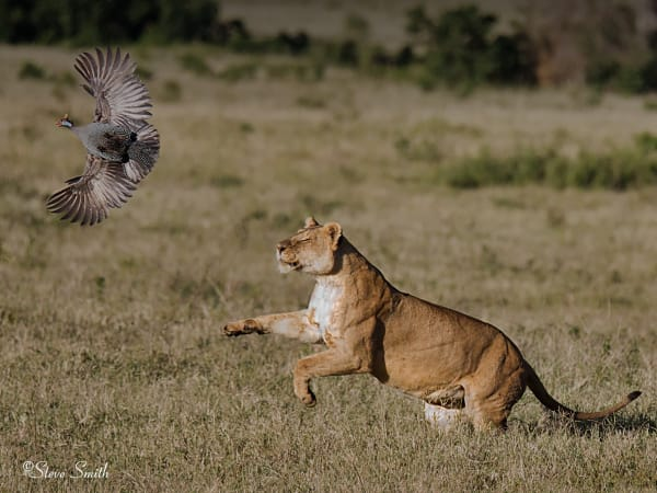 Young lion chases guineafowl.