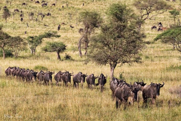 A small herd of wildebeest in the Serengeti.