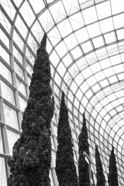 Singapore Pines