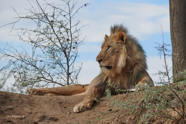 Majestic male  lion resting on riverbank