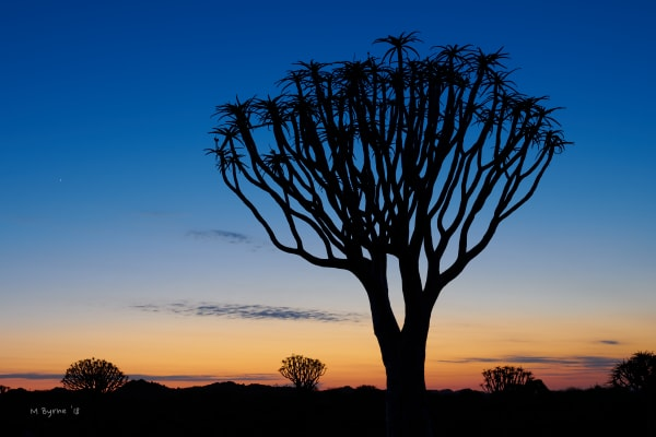 A quiver tree stands tall in early morning light, Namibia