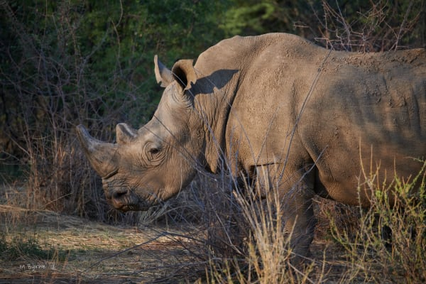 rhinoceros in the bush, Africa