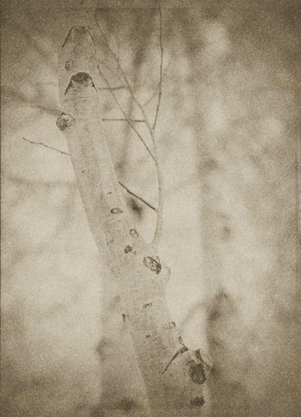 Sepia Birch Tree