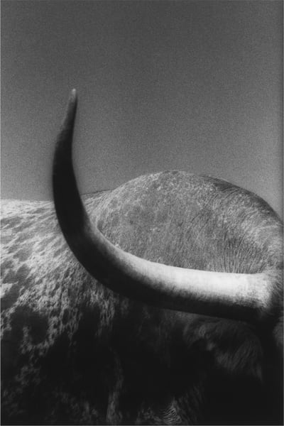 Steer #7, Art, Texas
