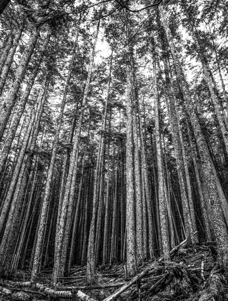 Forest in Black and White