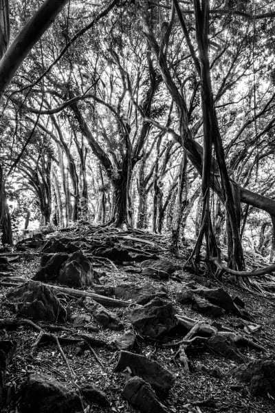 Banyan Tree: Black and White Photographs by Shane O'Donnell