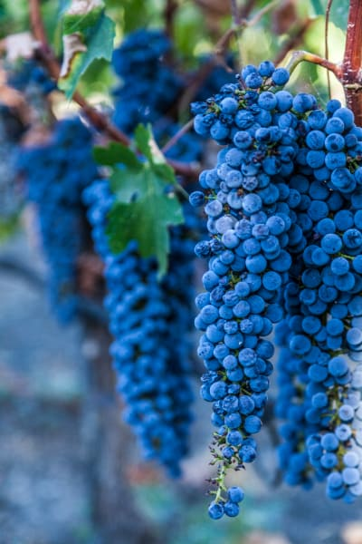 Wine Grape Bunch by Shane O'Donnell