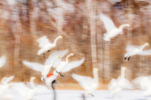 Swan Family Landing