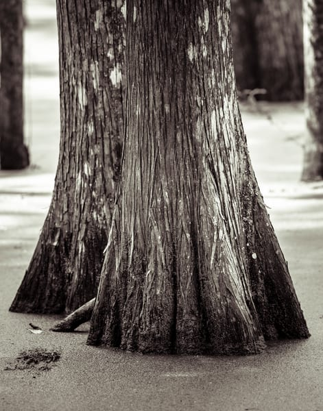 Cypress Swamp black and white photography